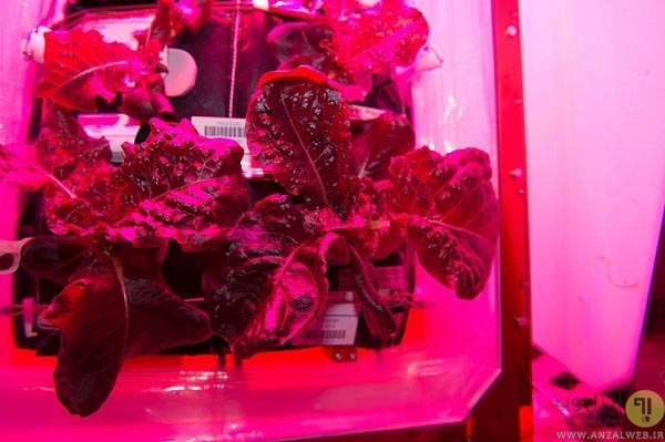 ناسا برای اولین بار در فضا سبزیجات خوراکی پروش داد