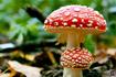 روش های تشخیص قارچ سمی کشنده کوهی، سفید و .. از قارچ خوراکی